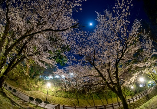 Cherry blossoms around Kumamoto Castle at night.